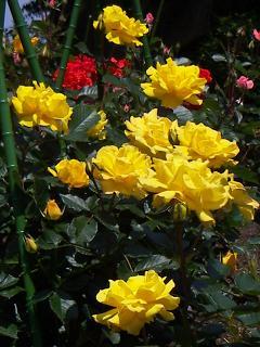 野毛山公園のバラの花 B