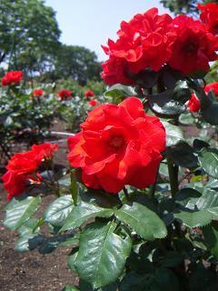 野毛山公園のバラの花 C