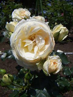 野毛山公園のバラの花 D