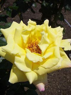 野毛山公園のバラの花 E