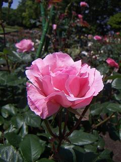 野毛山公園のバラの花 F