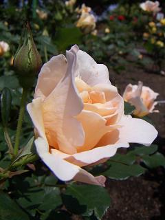 野毛山公園のバラの花 G
