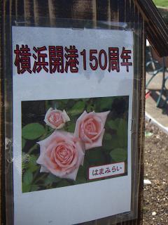 野毛山公園のバラの花 H