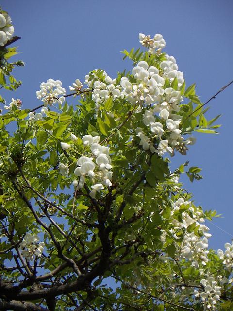 野毛山公園の藤の花A