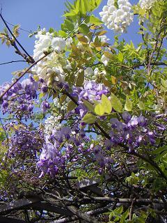 野毛山公園の藤の花B