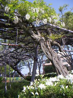 野毛山公園の藤の花C