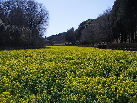 追分市民の森の菜の花2009 D