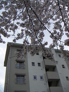 公団蒔田団地の桜 A