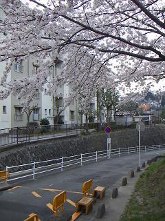 公団蒔田団地の桜 B