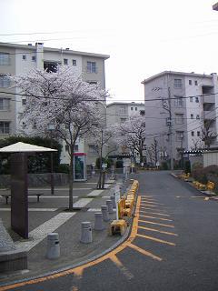 公団蒔田団地の桜 C