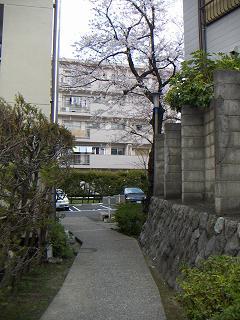 公団蒔田団地の桜 D