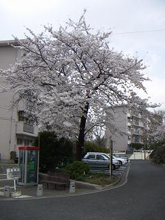 公団蒔田団地の桜 E