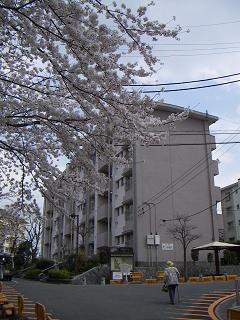 公団蒔田団地の桜 F