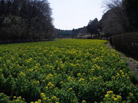 追分市民の森の菜の花 H
