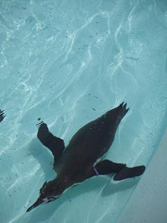 野毛山動物園のペンギン D