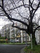 花咲団地の桜