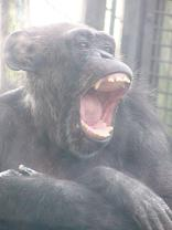 あくび中のチンパンジーのピーコさん。