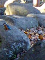 菊名池公園のカワセミ