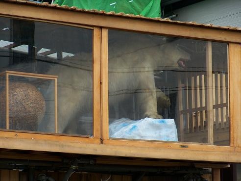 通りすがりに見かけたシロクマ
