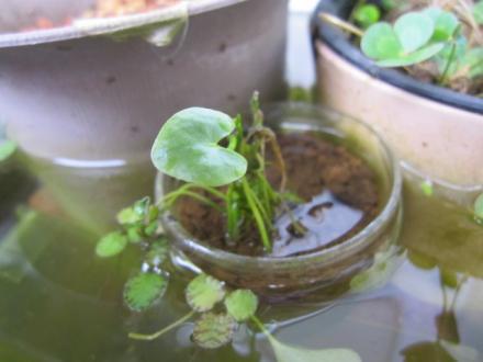 タイワンガガブタ水上葉