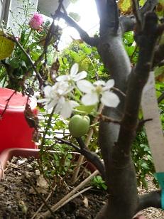 姫りんごに花が咲いた。