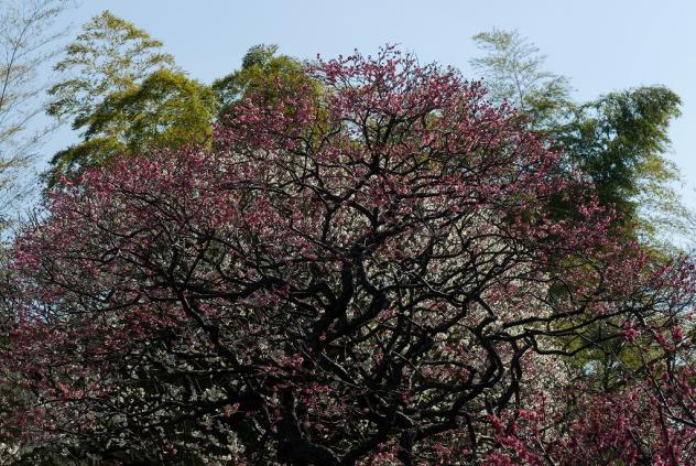 隅田公園梅まつり