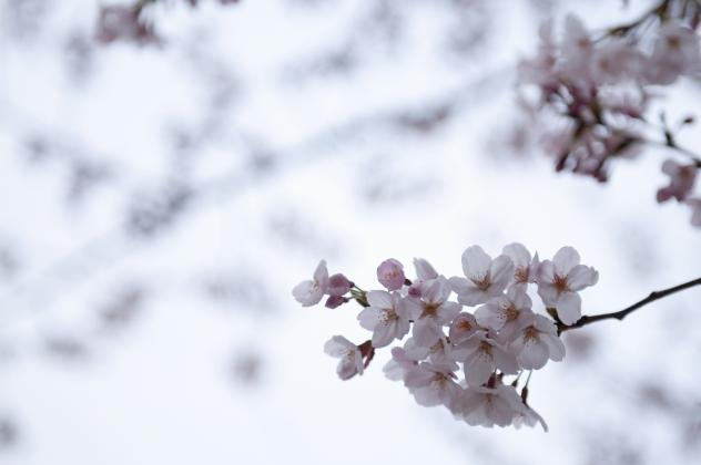 ハイキー桜