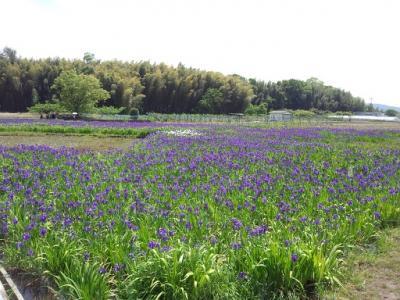 城陽花しょうぶ (4)