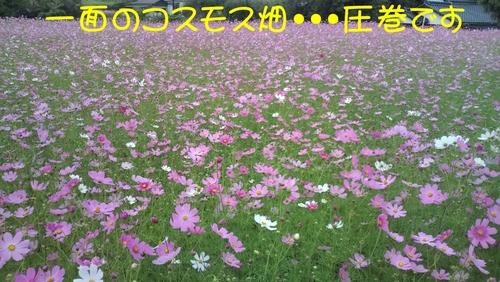 綺麗なコスモス畑in東岐波