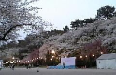桜全景(園内).jpg
