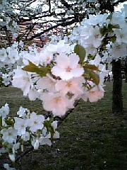 大島桜(アップ).jpg