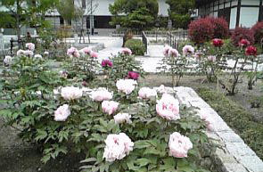 徳川牡丹2.jpg