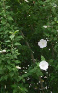 木槿白.jpg