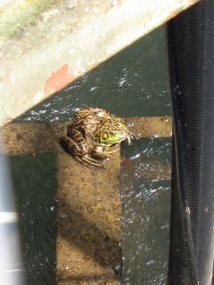 男川浄水場 沈砂池のカエル