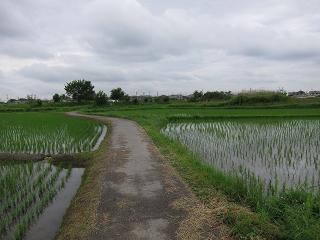 若松町の田んぼ