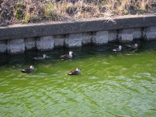 用水路の水鳥