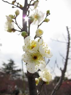 梅まつり 緑萼