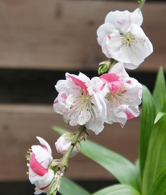 桜・・・?