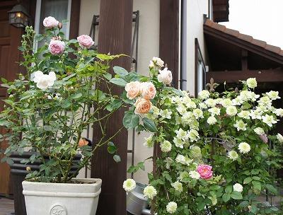 クレマチスとバラたち