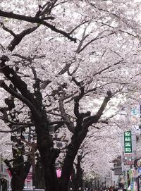 自由が丘桜