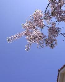枝垂れ桜 青空