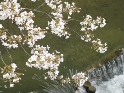 祇園白川のサクラ01