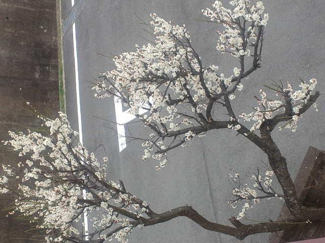 3.23 梅の花 満開