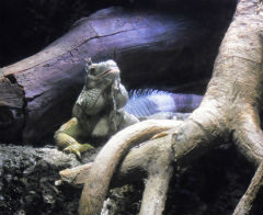 iguana1304.jpg