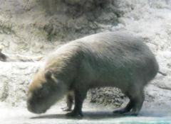 kapibara1304_1.jpg