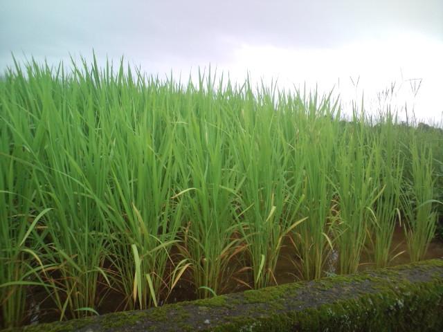 稲も成長してます