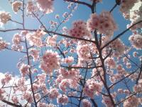 春の空と桜の花