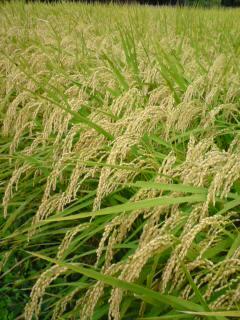 鈴なりの稲