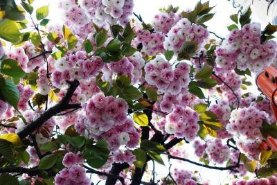 八重桜400×