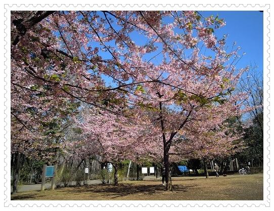 林試の森公園 河津桜